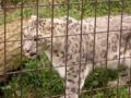 [生物]雪豹