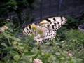 [生物]蝶