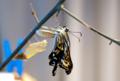 [生物]ナミアゲハの羽化