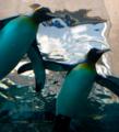 [旅行][北海道][生物]ペンギン