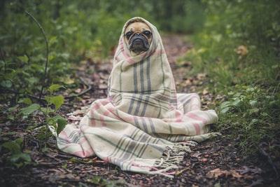 屋外で毛布に包まる犬(パグ)