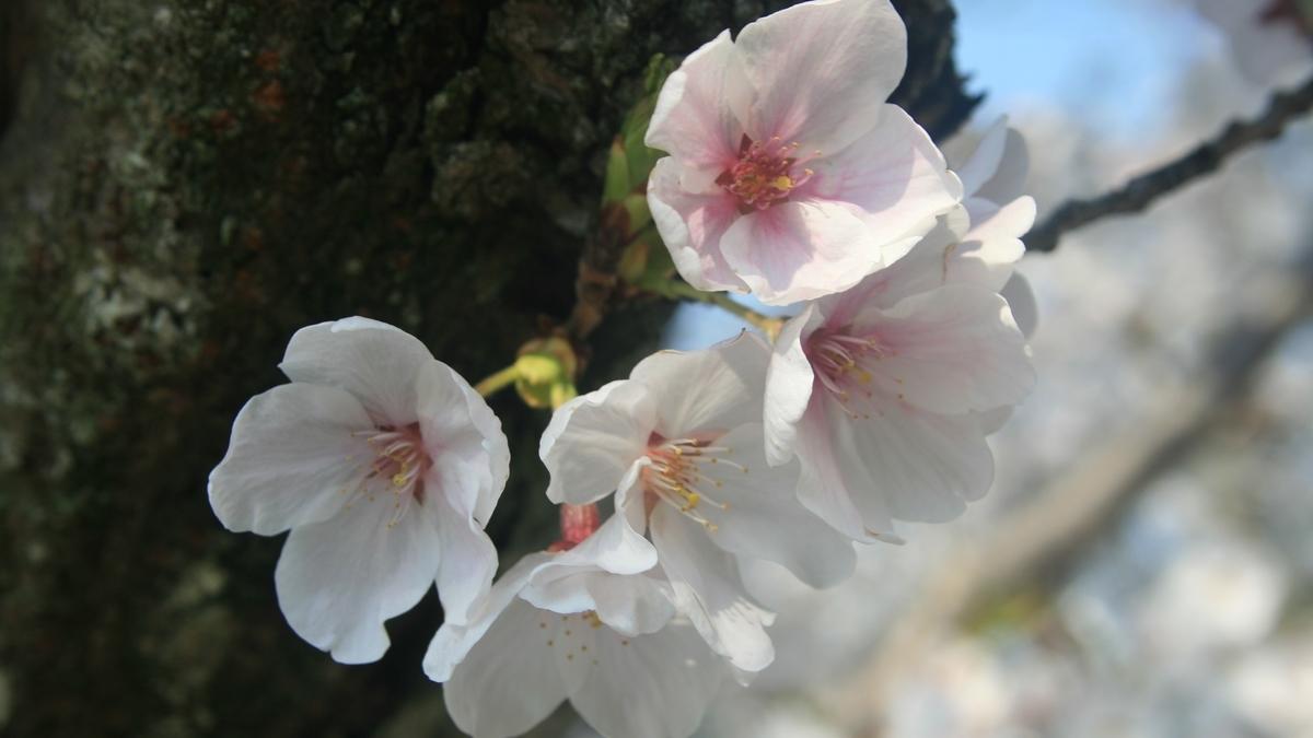 出会いと別れの春「桜の季節」