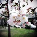 吉原公園の桜