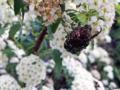 ピラカンサの花粉を食べるコアオハナムグリ