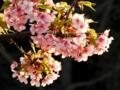 早咲きの桜(オオカンザクラ)