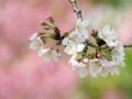 [春][桜]長居植物園のソメイヨシノ