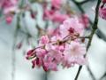[春][桜]長居植物園のシダレザクラ