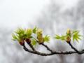 [春]モミジバフウ