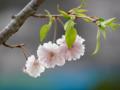 [春][桜]長居植物園の桜