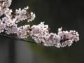 [春][桜]桃ヶ池公園のソメイヨシノ
