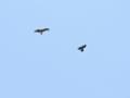 [野鳥]カラスとトビ