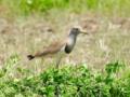 [野鳥]縄張りに入る侵入者を監視するケリ