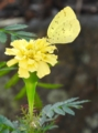 [マリーゴールド][花][蝶]マリーゴールドとモンキチョウ
