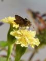 [マリーゴールド][花][蝶]マリーゴールドとセセリチョウ