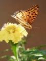 [マリーゴールド][花][蝶]マリーゴールドとツマグロヒョウモン