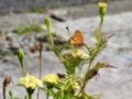 [マリーゴールド][花][蝶]マリーゴールドに集まる蝶