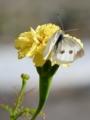 [マリーゴールド][花][蝶]マリーゴールドとモンシロチョウ