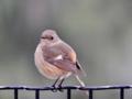 [野鳥]ジョウビタキ メス