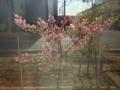 [桜]カワズザクラ