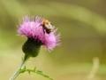 ミツバチとアザミ