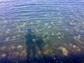 大量発生するミズクラゲ