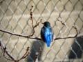カワセミの青い背中