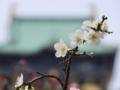 大阪城と白い梅