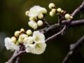 白い梅もきれい