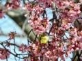 メジロと早咲きの桜