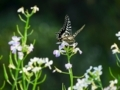 大根の花とアゲハチョウ