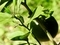 ハッサクとアゲハチョウの幼虫