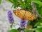 ハーブ園のツマグロヒョウモン