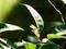 アゲハチョウの蛹