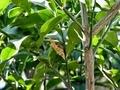 寄生されたアゲハチョウの蛹