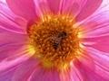 ダリアと蜜蜂