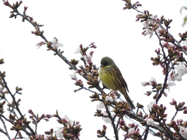 アオジに桜