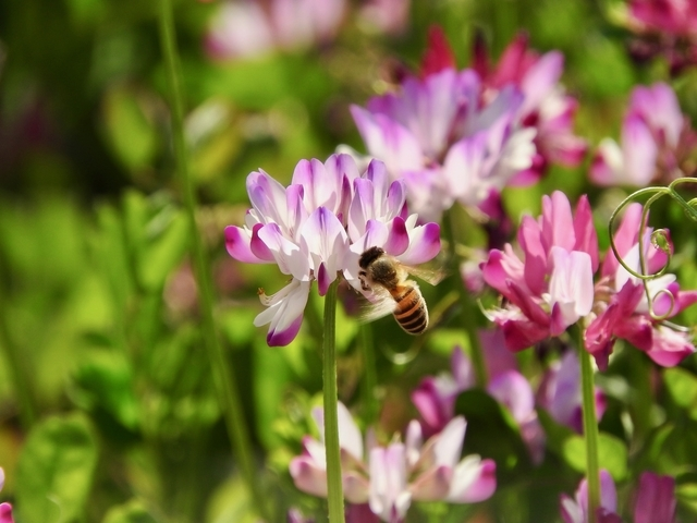 蓮華に蜜蜂