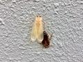 幸運を運ぶ白いゴキブリ