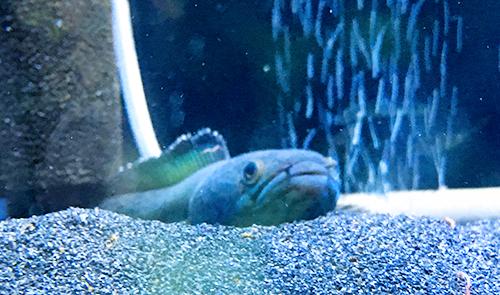 赤虫を食べるブルームーンギャラクシースネークヘッド チャンナパルダリスの画像