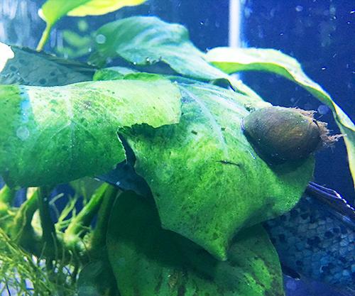 石巻貝のマキちゃんの画像