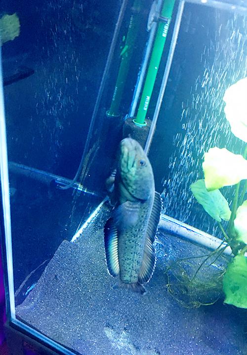 立ち泳ぎしながらごはんを食べるブルームーンギャラクシースネークヘッド(チャンナパルダリス)の画像