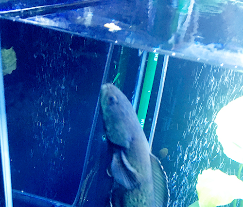 クリルの匂いをかぐブルームーンギャラクシースネークヘッド(チャンナパルダリス)の画像