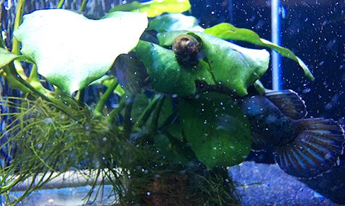 マイペースな石巻貝のマキちゃんと緊張して尾びれを広げるブルームーンギャラクシースネークヘッド(チャンナパルダリス)のすっちーの画像