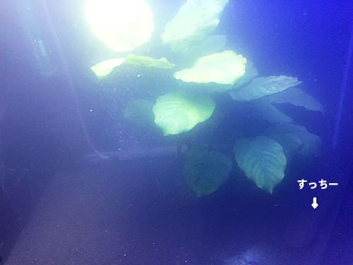 アクアエックスプラスの濁りが漂うすっちー水槽の画像