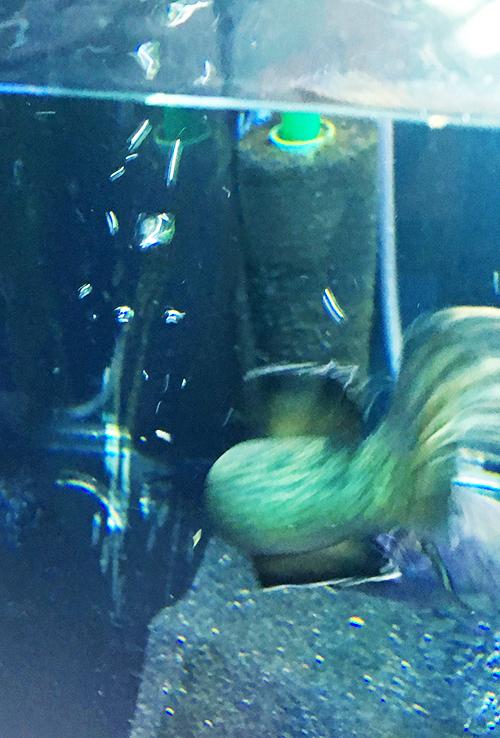クリルに飛びつくつブルームーンギャラクシースネークヘッド(チャンナパルダリス)の画像