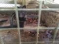 ジャコウネコとコーヒー豆@バリ島 バリプリナ
