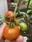トマト(フルーツピーチ)@初収穫