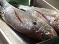 [魚]イシモチのオリーブ焼き
