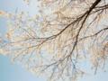 [空][花][桜]