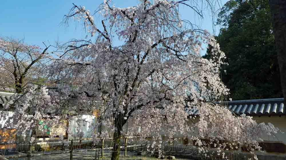 アメックス 醍醐寺・夜間特別拝観 総門前の桜